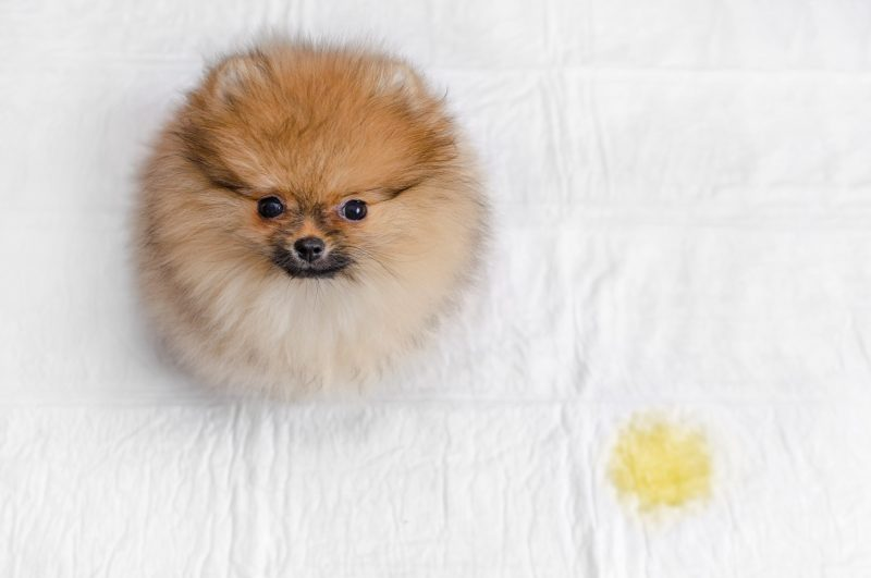 remove dog urine from carpet